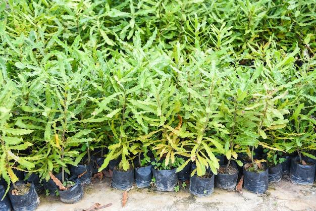Macadamia-boom in zwarte plastic zak in de plantenkwekerij op de macadamia-notenboerderij