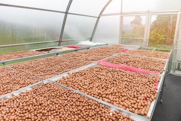 Macadamia noten in de maak gedroogd fruit bij kamertemperatuurregeling droog gebakken met zonlicht, verse macadamia noten shell van natuurlijk eiwitrijk