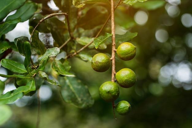 Macadamia-noten klaar voor de oogst
