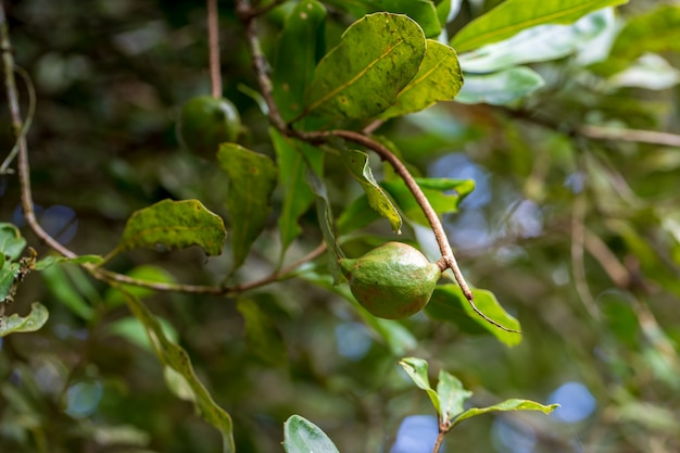 Macadamia noten klaar voor oogst