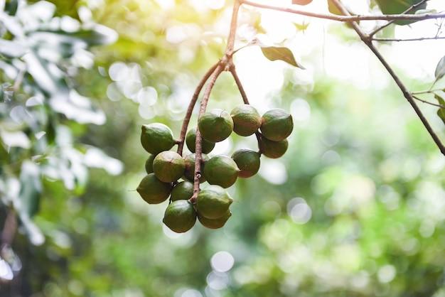 Macadamia noten opknoping op tak macadamia boom in boerderij in de zomer