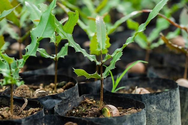 Macadamia notenzaailingen met groen blad