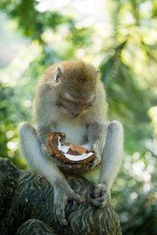 Macaque met kokosnoot