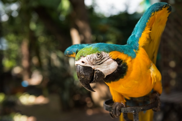 Maccaw papegaai spreidde vleugels om te vliegen