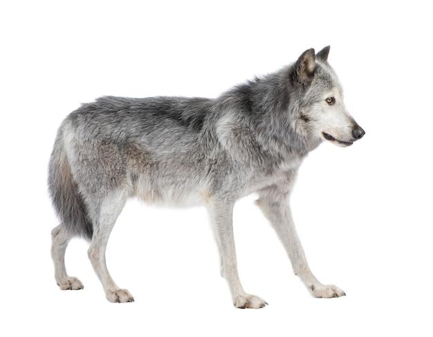 Mackenzie valley wolf met 8 jaar. canis lupus occidentalis