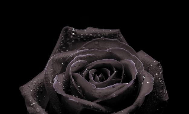 Macro close-up achtergrond van mooie zwarte roos op zwarte achtergrond voor valentijnsdag.