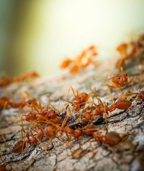 Macro close-up mieren teamwerk helpt voedsel te vervoeren gedrag van mieren