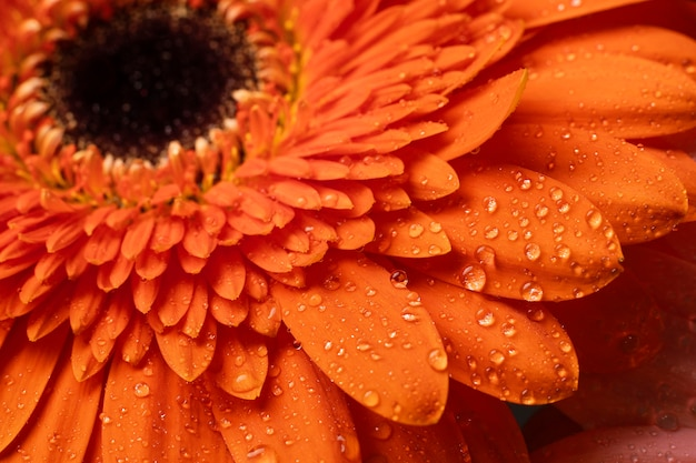 Macro de lentebloemblaadjes van gerbera