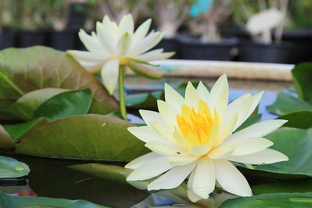 Macro dichte omhoog witte gele lotusbloembloem of weter lilly