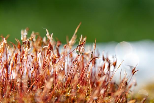 Macro foto achtergrond mos met dauw in het bos