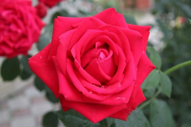 Macro foto natuur bloeiende knop van een roze roos. achtergrond geopend roze knop. rosebud met roze bloemblaadjes.