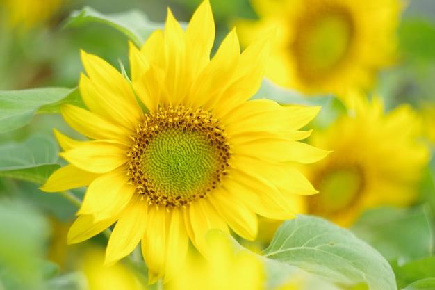 Macro foto's van zonnebloemen in de ochtend