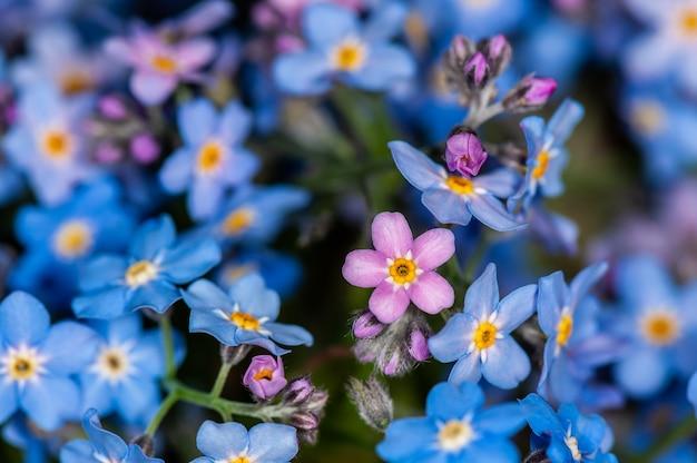 Macro foto van blauwe vergeet-mij-nietjes lentebloemen, abstracte zachte bloemen achtergrond.