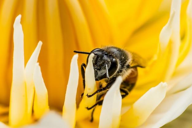 Macro-opname, afbeelding van honingbij of honingbij op de gele lotus stuifmeel.