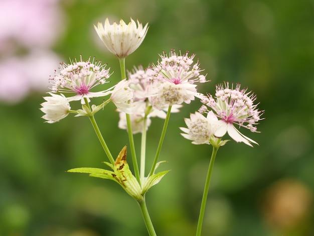 Macro-opname van astrantia-bloemen op een groene achtergrond