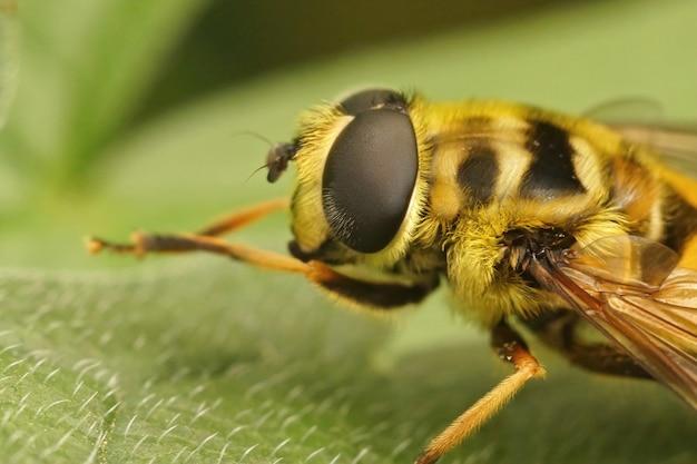Macro-opname van een batman-zweefvlieg in de tuin (myathropa florea)