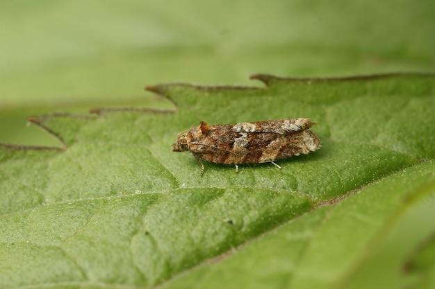 Macro-opname van een nachtvlinder (heather tortrix) op het blad