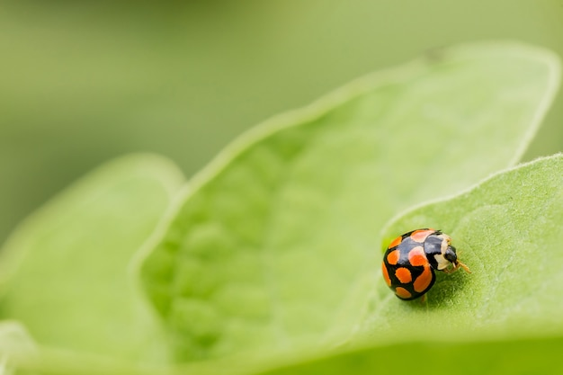 Macro-opname van een oranje lieveheersbeestje op een groen blad