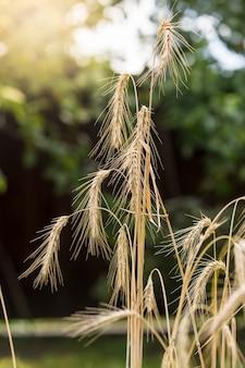 Macro-opname van rijpe tarwespikes in het veld op zonnige dag