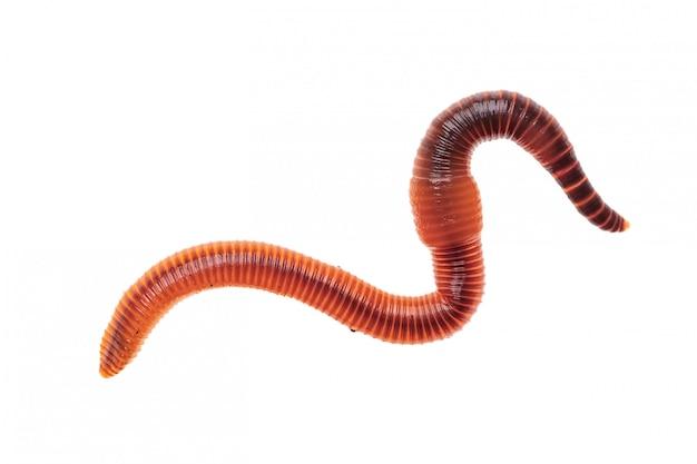 Macro-opname van rode worm dendrobena, regenworm levend aas voor de visserij op wit wordt geïsoleerd