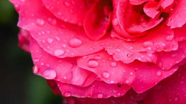 Macro-opname van rozenblaadjes met regendruppels erop.