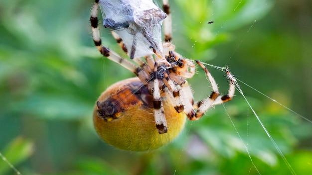 Macro spider kannibalisme, vrouwelijke kruisspin araneus diadematus doodde man na copulatie en wikkelde hem