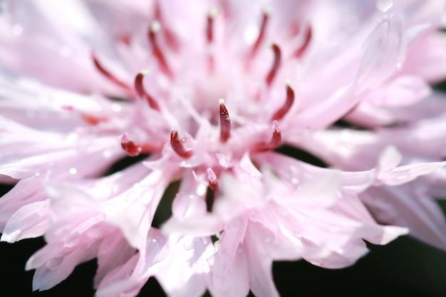 Macro stuifmeel op roze bloem