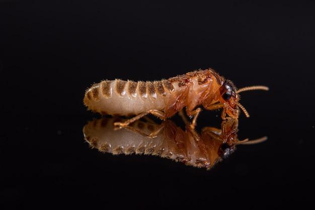 Macro termiet glanzende zwarte achtergrond