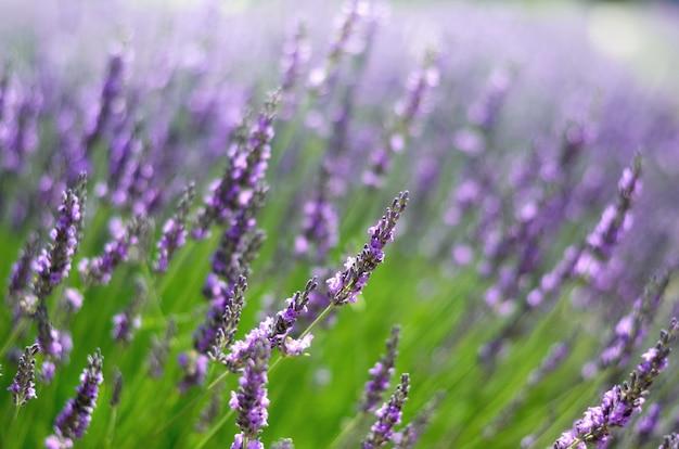 Macro van bloeiende violette lavendelbloemen. provence natuur. lavendelgebied in zonlicht met exemplaarruimte. zomer concept, selectieve aandacht