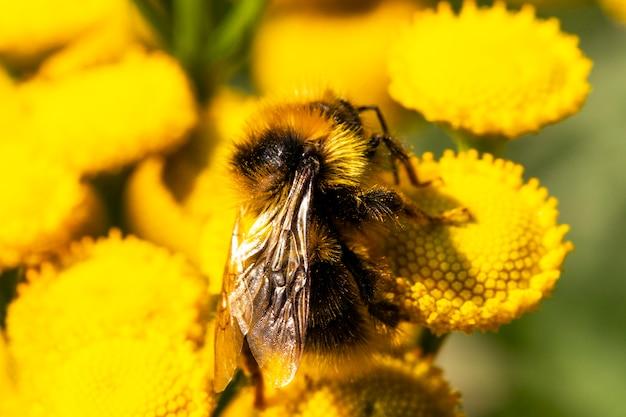 Macro van de noordelijke witstaarthommel bombus magnus op een gele bloem