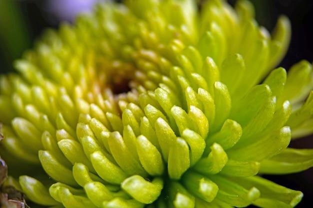 Macro van een groene chrysanthemum bloem.