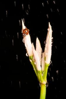 Macro van een lieveheersbeestje op een plant in de regen. geïsoleerd op een zwarte achtergrond