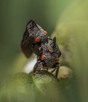 Macro van een treehoppers
