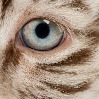 Macro van een wit oog van de tijgerwelp