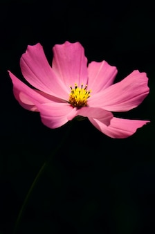 Macro weergave bloeiende cosmos bloemen. lente landschap met een bos van roze bloemen.