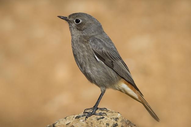 Macro zijaanzicht dat van een kleine passerinevogel is ontsproten die als zwarte roodstaart wordt bekend die op een rots wordt neergestreken