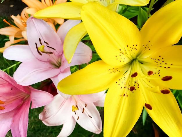 Macrobeeld van mooie tot bloei komende gele lelies in tuin