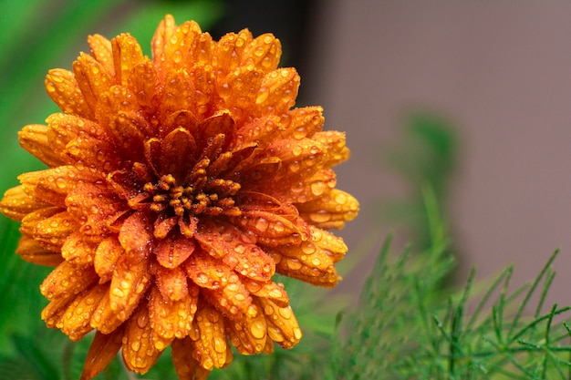 Macrobloemblaadjes en stuifmeel van mooie oranje bloem met druppels water.