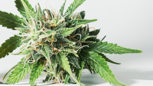 Macroclose-up van verse medische marihuanaknoppen die binnenshuis groeien