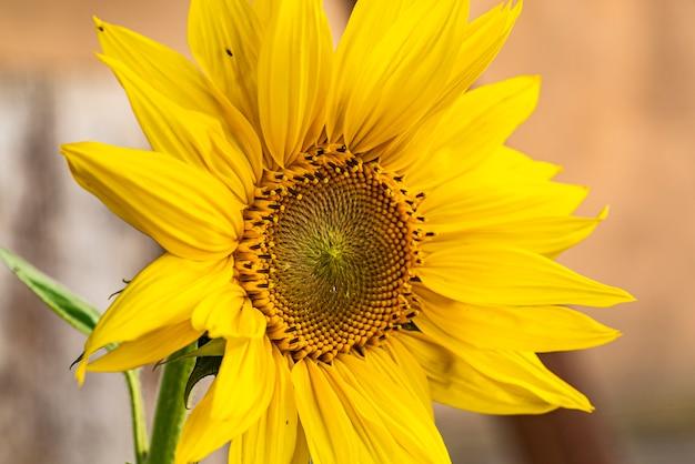 Macrodetail gele zonnebloem in de natuur in de groeifase in het voorjaar