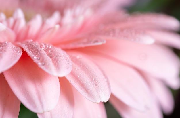 Macrofoto op roze gerbera-bloemblaadjes die door waterdalingen worden behandeld.