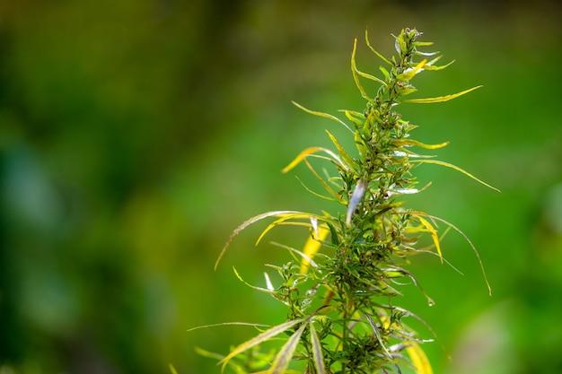 Macrofoto's van marihuanaplant met bladeren vóór het oogsten.