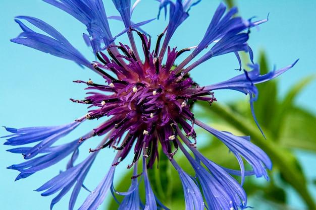 Macrofoto van blauwe korenbloembloem op blauw