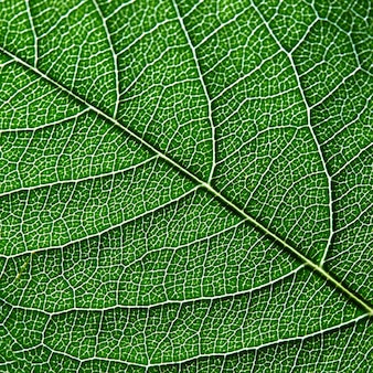 Macrofoto van donkergroen blad. natuurlijk patroon van bladnerf als achtergrond voor uw ideeën. top
