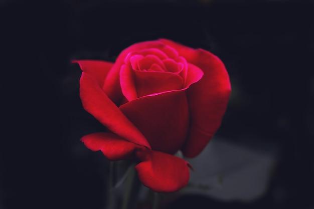 Macrofoto van een rode roos op een donkere achtergrond