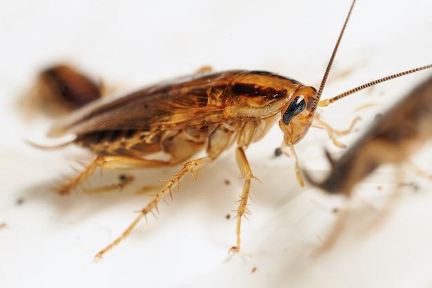 Macrofoto van een volwassen rode kakkerlak die leeft onder de andere kakkerlakken