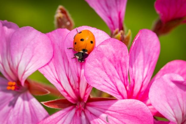 Macrofoto van lieveheersbeestje op een roze bloem