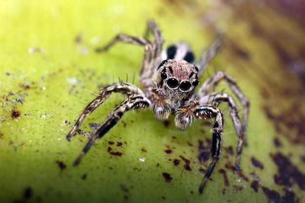 Macrofoto van springende spin op bruin mos met veel haar grote ogen