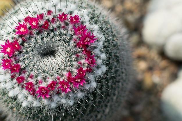 Macrofoto van stekelige en pluizige cactus, cactaceae of cactussen die met bloemen op natuurlijke onscherpe achtergrond bloeien.