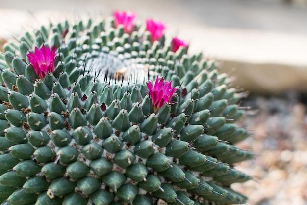 Macrofoto van stekelige en pluizige cactus, cactaceae of cactussen
